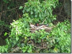 IMG_0006 Moorhen nest