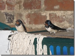 IMG_0004 Swallows