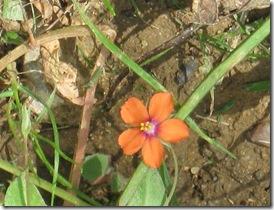 IMG_0026 Scarlet Pimpernel