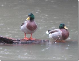 IMG_0049 Ducks