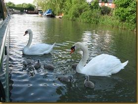 IMG_0008 swans 6 chicks
