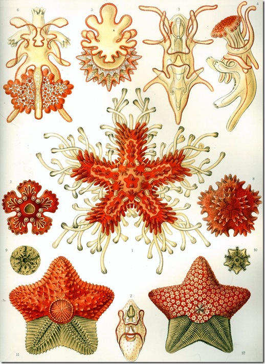 Haeckel_Asteridea (FILEminimizer)