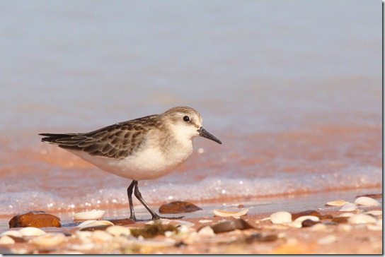 Red-necked Stint_3755_1