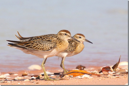 Sharp-tailed Sandpiper_3801_1