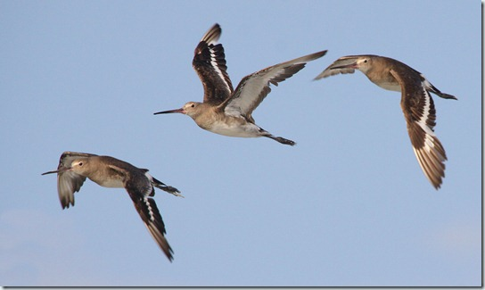Black-tailed Godwit_3291_1