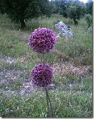 aaa Allium_atroviolaceum