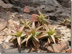 Aloe perryi