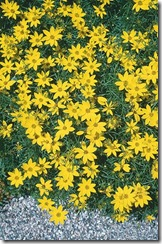 COREOPSIS VENTRICILLATA