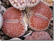Lithops hallii v ochracea1