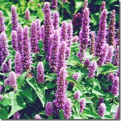 Agastache
