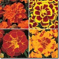 Tagetes