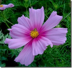 cosmos_bipinnatus