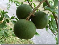 Aegle marmelos - Bael Fruit a