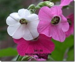 Nicotiana mutabilis 1