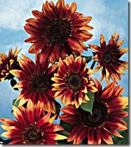 S Indian Blanket