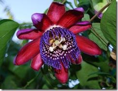 Passiflora quadrangularis1