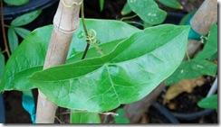 Passiflora coriacea2