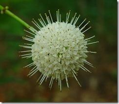 Cephalanthusoccidentalis