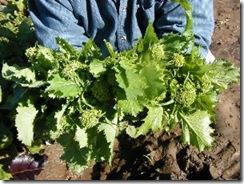 BroccoliRaab