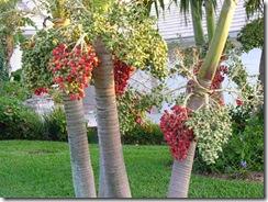 1 xmas palm