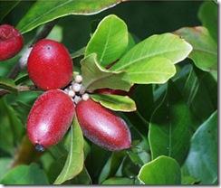 miraclefruit3