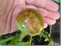 Solanum macrocarpum (5)