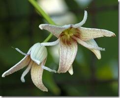 Stauntoniahexaphylla