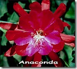 Epi anaconda