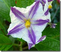 solanum_muricatum_flower