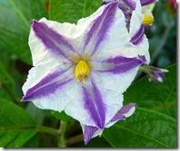 solanum_muricatum_flower