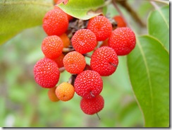 Arbutus unedo