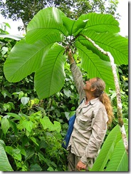 Passiflora macrophyllum