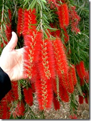 Callistemon-viminalis