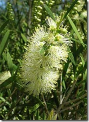 Callistemon_sieberi