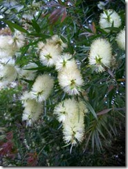 Callistemon-salignus