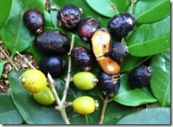 Jaboticaba do Mangue