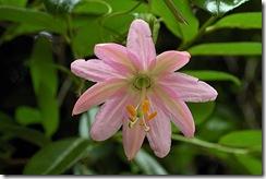 Passiflora tarminiana1