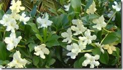 Brungfelsia nitida1