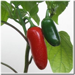 Pepper early jalapeno