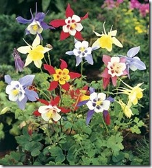 Columbine Mckana Giant