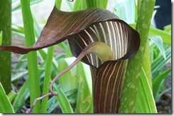 Arisaema triphyllum