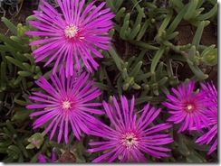Ddelosperma cooperi