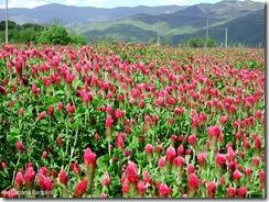 trifolium-incarnatum