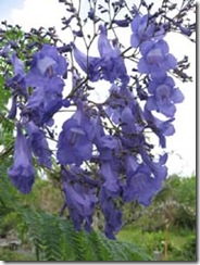 Jacaranda