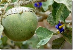 Solanum lycocarpum1