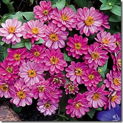 Zinnia Profusion Cherry