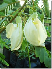 Sesbania grandiflora white1