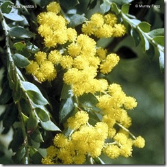 Acacia vestita