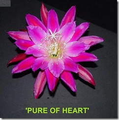 Epi Pure of Heart
