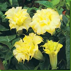 Datura Golden Queen